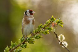 Goldfinch photographed at Bas Capelles [BAS] on 26/3/2020. Photo: © Rod Ferbrache