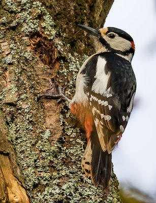 Great Spotted Woodpecker photographed at Saumarez Park [SAU] on 3/4/2020. Photo: © Dave Carre