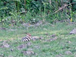 Hoopoe photographed at Torteval [TOR] on 16/4/2020. Photo: © Mark Guppy
