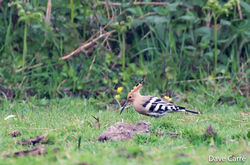Hoopoe photographed at la Rue des Mare on 16/4/2020. Photo: © Dave Carre
