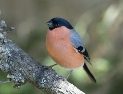 Bullfinch photographed at St Peter Port [SPP] on 19/4/2020. Photo: © Mike Cunningham