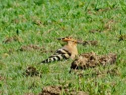 Hoopoe photographed at Rue des Mares, Torteval on 19/4/2020. Photo: © Mark Guppy
