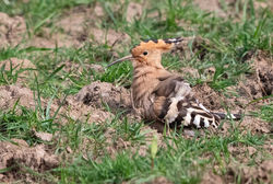 Hoopoe photographed at Rue des Lauren, T on 20/4/2020. Photo: © Anthony Loaring