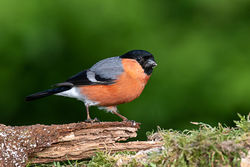 Bullfinch photographed at Bas Capelles [BAS] on 18/5/2020. Photo: © Rod Ferbrache