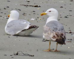 Yellow-legged Gull photographed at L'Eree on 25/6/2020. Photo: © Wayne Turner