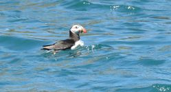 Puffin photographed at Sark [SAK] on 12/7/2020. Photo: © Sue De Mouilpied
