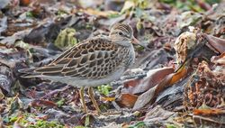 Pectoral Sandpiper photographed at Richmond [RIC] on 5/9/2020. Photo: ©  Rockdweller
