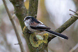 Long-tailed Tit photographed at Pezeries [PEZ] on 12/10/2020. Photo: © Rod Ferbrache
