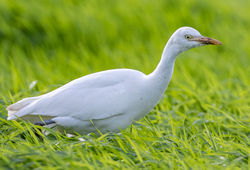 Cattle Egret photographed at Rue des Bergers [BER] on 26/10/2020. Photo: © Dave Carre
