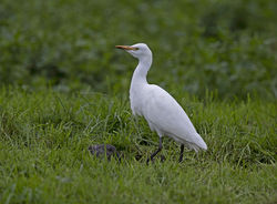 Cattle Egret photographed at Rue des Bergers [BER] on 29/10/2020. Photo: © Mike Cunningham