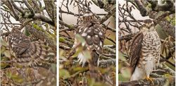 Sparrowhawk photographed at Select location on 10/11/2020. Photo: ©  Rockdweller