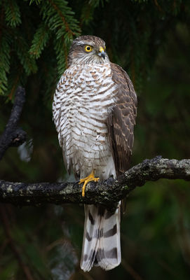 Sparrowhawk photographed at St Peter Port [SPP] on 3/2/2021. Photo: © Mike Cunningham