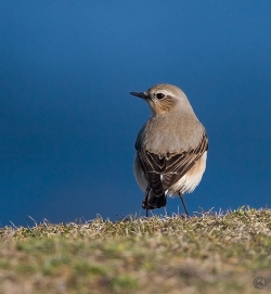 Wheatear photographed at Pleinmont on 8/4/2007. Photo: © Barry Wells