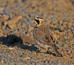 Shore Lark photographed at Pleinmont on 8/4/2007. Photo: © Barry Wells