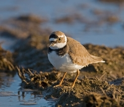 Little Ringed Plover photographed at Pleinmont on 8/4/2007. Photo: © Barry Wells