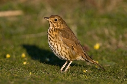 Song Thrush photographed at Pleinmont on 10/4/2007. Photo: © Barry Wells
