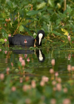 Coot. Photo: © Steve Levrier