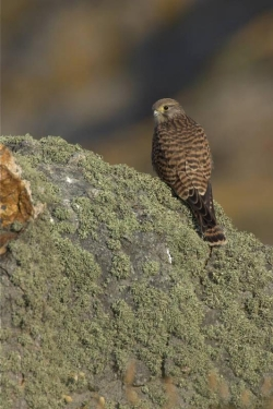 Kestrel. Photo: © Steve Levrier