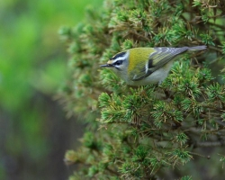 Firecrest. Photo: © Steve Levrier