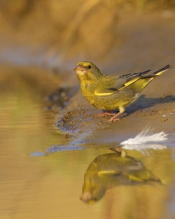 Greenfinch. Photo: © Steve Levrier