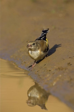 Goldfinch. Photo: © Steve Levrier