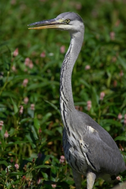Grey Heron. Photo: © Steve Levrier