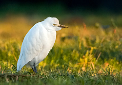 Cattle Egret photographed at Route des Blicqs on 8/2/2008. Photo: © Paul Hillion