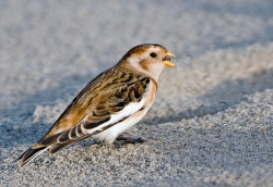 Snow Bunting. Photo: © Paul Hillion