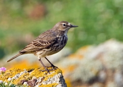 Rock Pipit photographed at Pleinmont on 0/0/0. Photo: © Paul Hillion