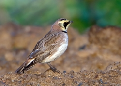 Shore Lark photographed at Pleinmont on 0/0/0. Photo: © Paul Hillion