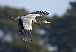 Grey Heron photographed at La Claire Mare on 0/0/0. Photo: © Paul Hillion