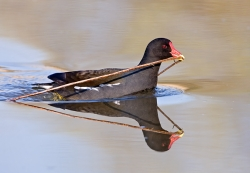 Moorhen photographed at Rue des Bergers NR on 0/0/0. Photo: © Paul Hillion