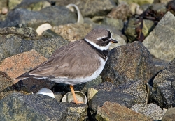 Ringed Plover photographed at Bellegreve Bay on 0/0/0. Photo: © Paul Hillion