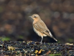 Wheatear photographed at Fort le Crocq on 0/0/0. Photo: © Paul Hillion