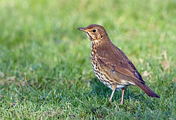 Song Thrush photographed at Rue des Longs Camps on 16/12/2007. Photo: © Paul Hillion