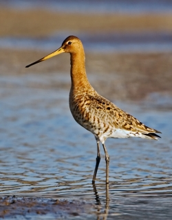 Black-tailed Godwit photographed at La Claire Mare on 0/0/0. Photo: © Paul Hillion