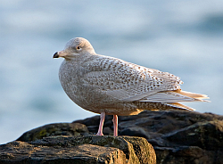 Glaucous Gull photographed at Belle Greve Bay on 18/12/2007. Photo: © Paul Hillion