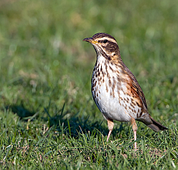 Redwing photographed at Rue des Longs Camps on 16/12/2007. Photo: © Paul Hillion