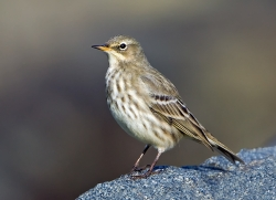 Rock Pipit photographed at Bellegreve Bay on 0/0/0. Photo: © Paul Hillion