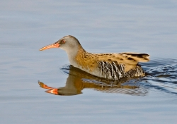 Water Rail photographed at La Claire Mare on 0/0/0. Photo: © Paul Hillion