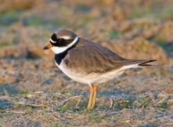 Ringed Plover photographed at Pleinmont on 0/0/0. Photo: © Paul Hillion