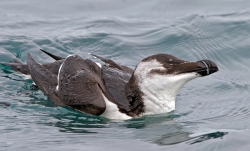 Razorbill photographed at Bellegreve Bay on 0/0/0. Photo: © Paul Hillion