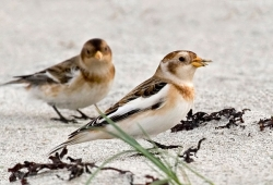 Snow Bunting photographed at Vazon Bay on 0/0/0. Photo: © Paul Hillion