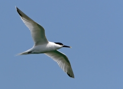 Sandwich Tern photographed at Bellegreve Bay on 0/0/0. Photo: © Paul Hillion