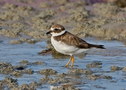 Ringed Plover photographed at Rocquaine Bay on 0/0/0. Photo: © Paul Hillion