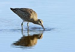 Curlew photographed at La Claire Mare NR on 17/2/2008. Photo: © Paul Hillion