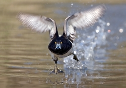 Tufted Duck photographed at Rue des Bergers NR on 0/0/0. Photo: © Paul Hillion