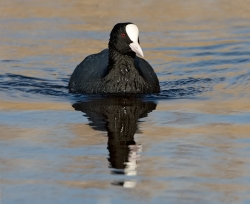 Coot photographed at La Claire Mare on 0/0/0. Photo: © Paul Hillion