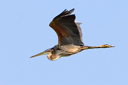 Purple Heron photographed at La Clare Mare NR on 6/5/2008. Photo: © Paul Hillion