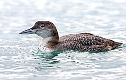 Great Northern Diver photographed at St Peter Port Harbour on 20/1/2008. Photo: © Paul Hillion